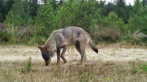 Wolf 'Kurti'