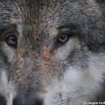 Europaeischer_Grauwolf